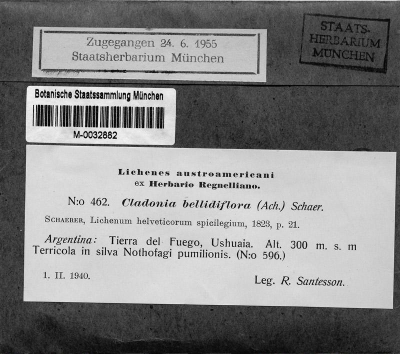 M 402: Cladonia bellidiflora