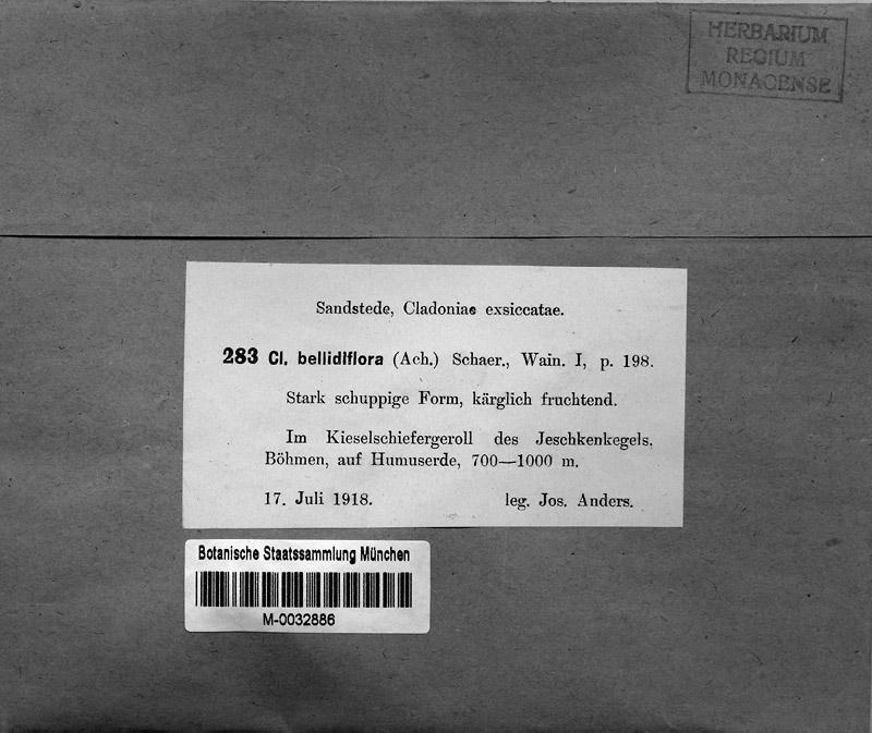 M 283: Cladonia bellidiflora