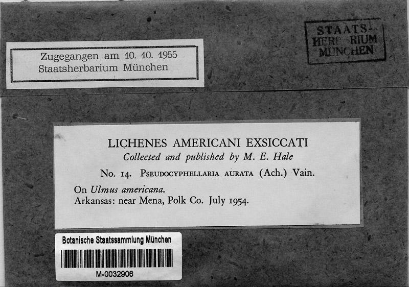 M 14: Pseudocyphellaria aurata